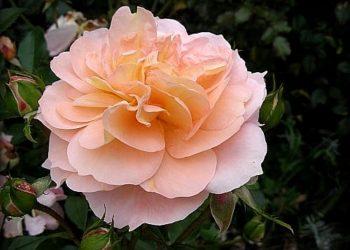 Sangerhauser-Junilaeumsrose