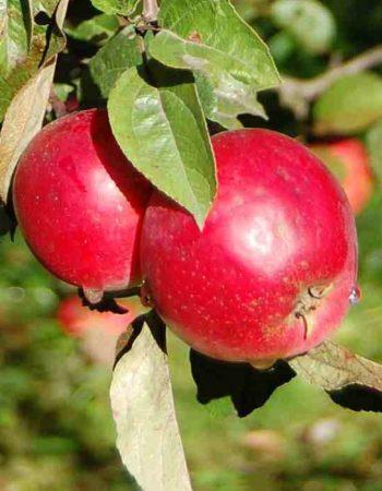анис белый яблоня