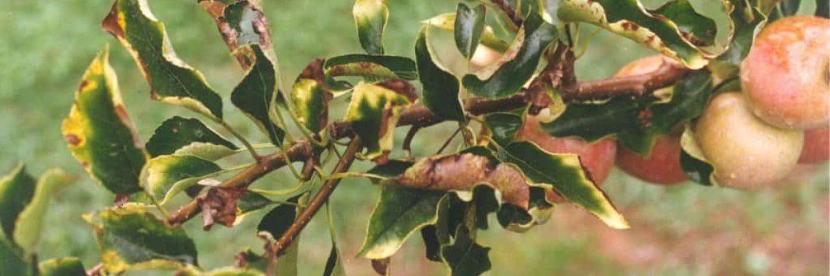основные болезни яблонь
