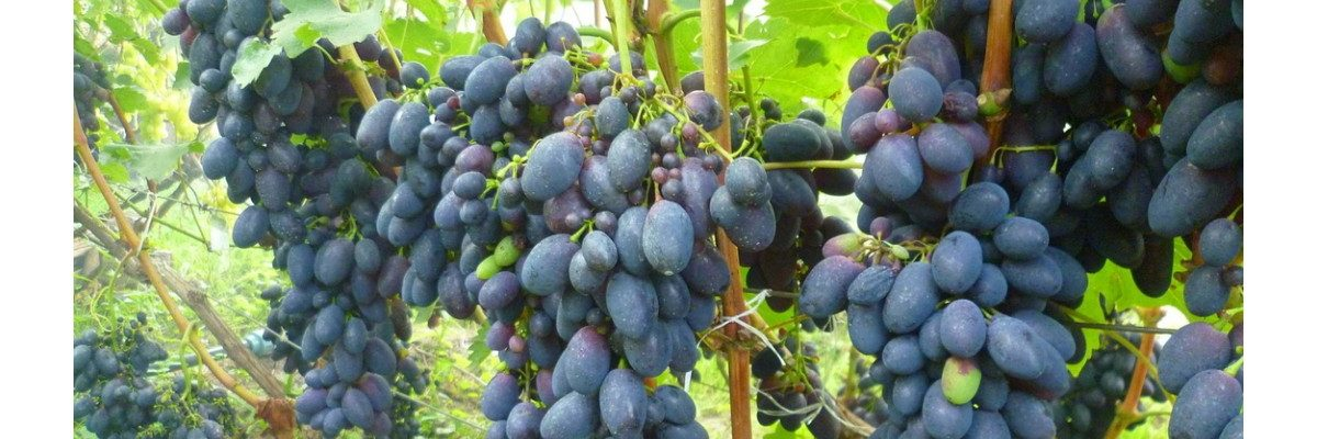 сорт винограда яся характеристика