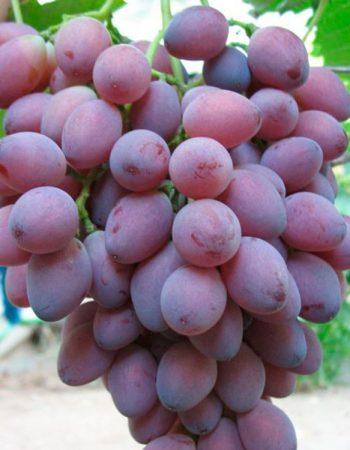сорт винограда яся