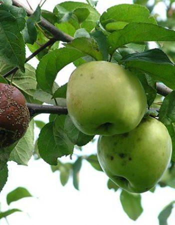 плодовая гниль на яблоне фото