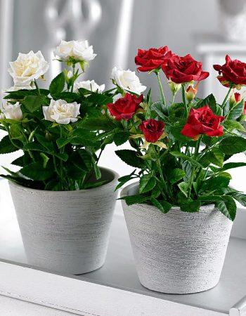 размножение домашних роз