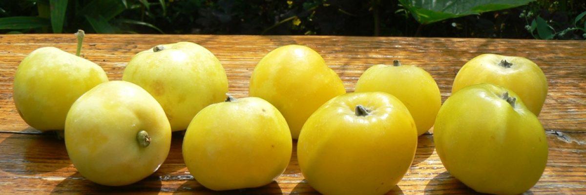 китайка золотая яблоки описание