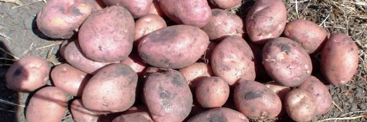 сорт картофеля романо описание
