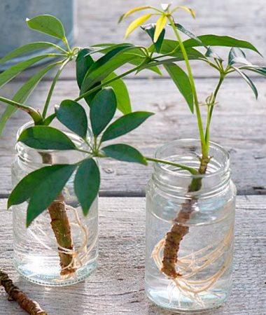 черенкование комнатных растений в воде