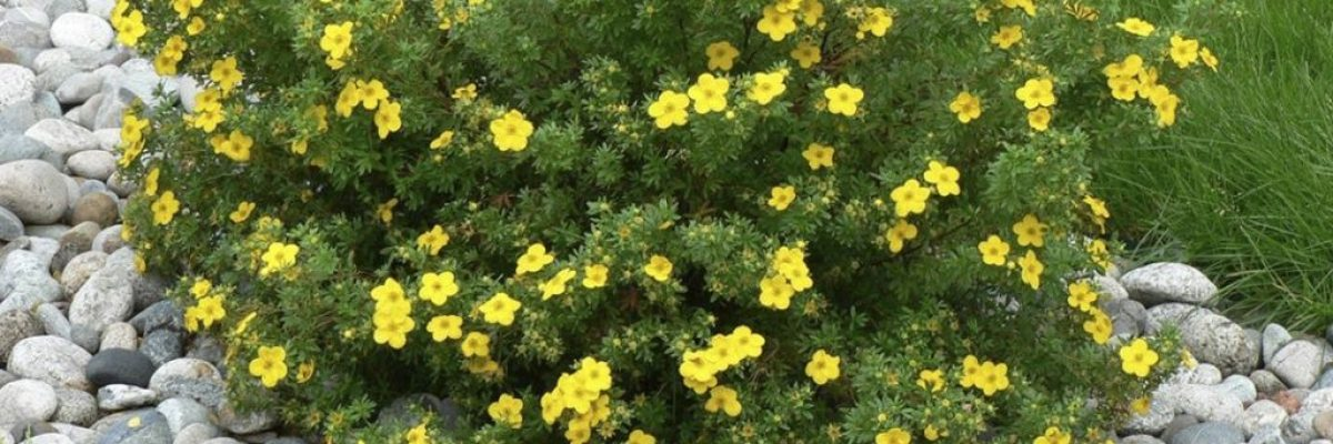 лапчатка кустарниковая выращивание