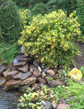 лапчатка кустарниковая в дизайне сада