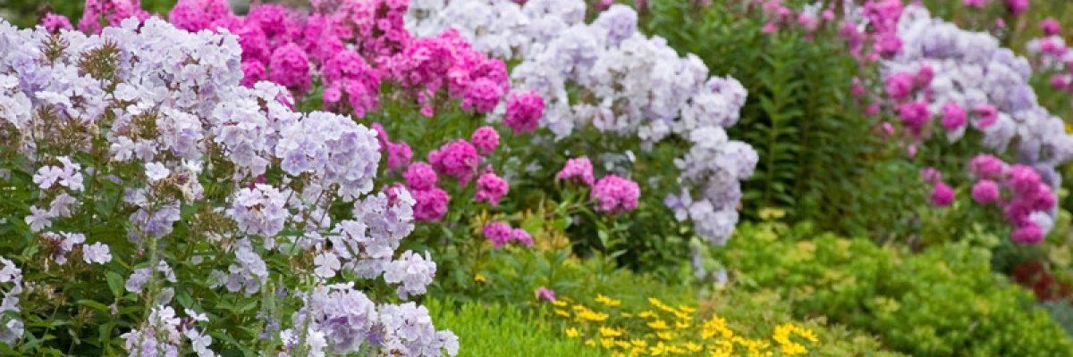 флокс метельчатый в саду