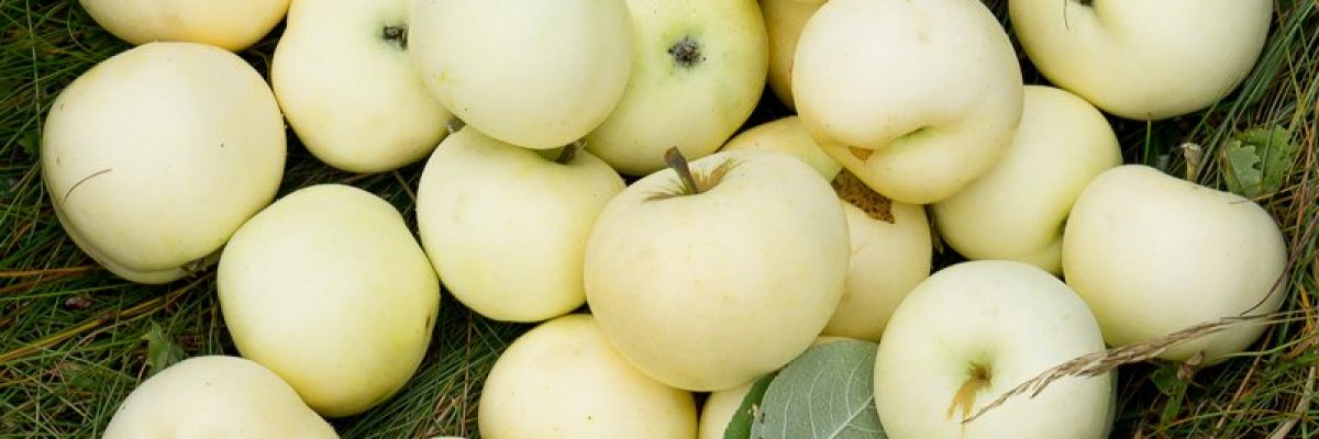 белый налив яблоки описание