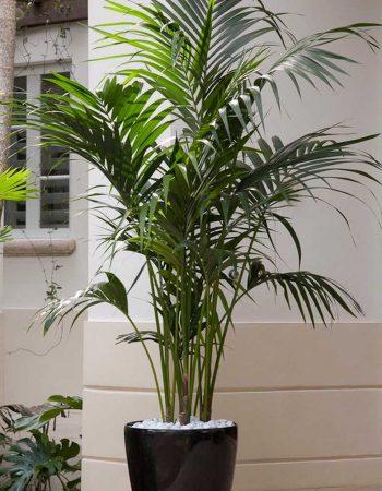 комнатная пальма уход после пересадки