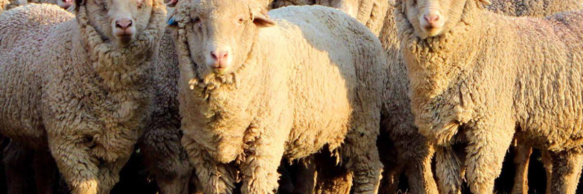 алтайская порода овец содержание