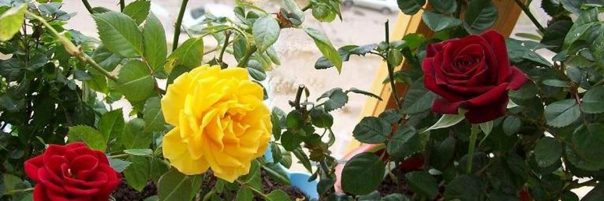 домашняя роза разновидности