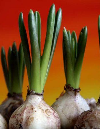 Как ухаживать за луковицами тюльпанов