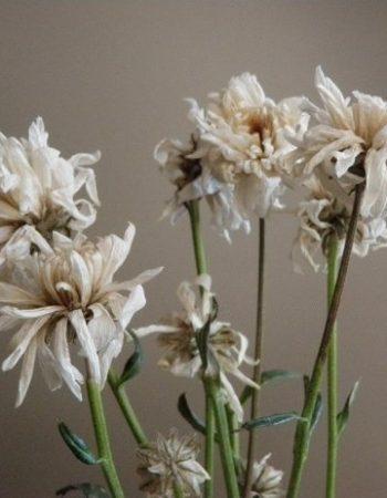 болезни хризантем лечение