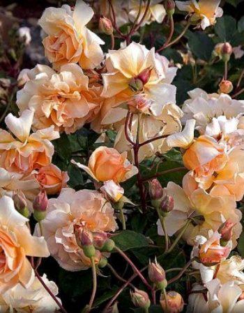 абрикосовый цвет роз