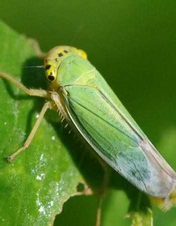 розанная цикадка
