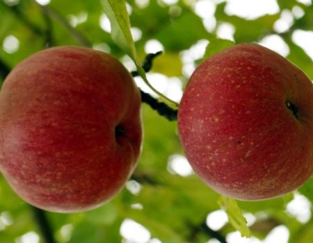 сорт яблок титовка