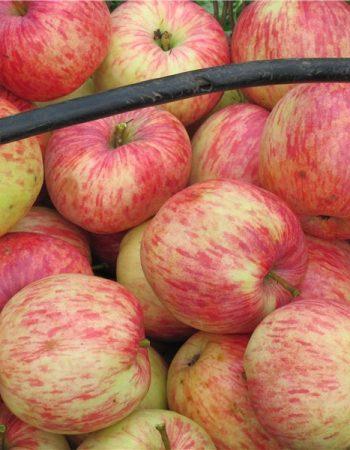 сорт яблони Бельфлер Китайка