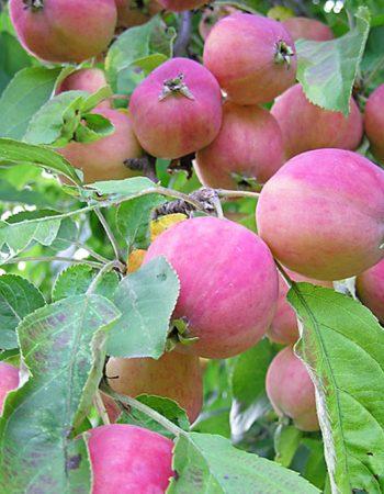 сорт яблони Китайка Санина