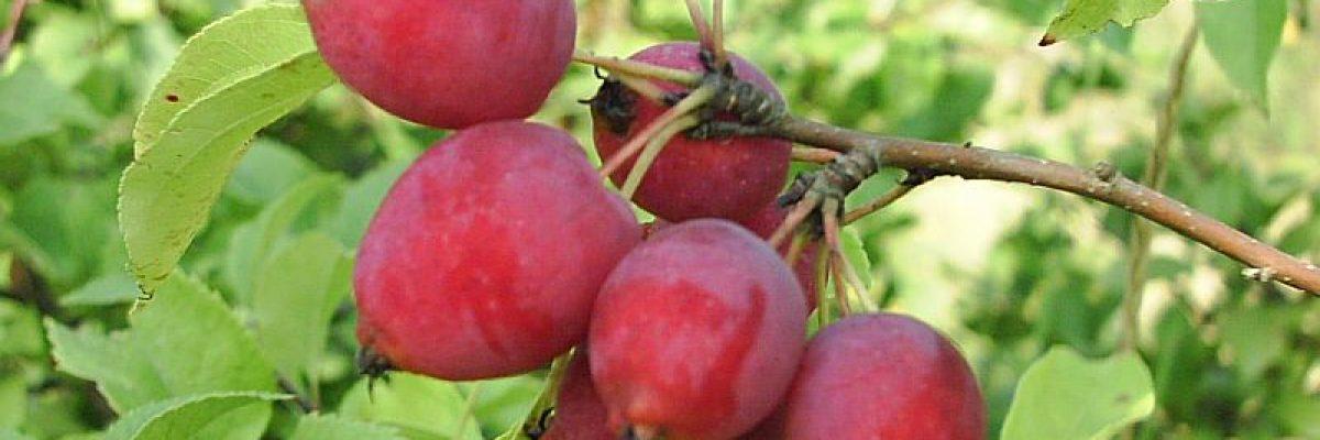 сорт яблони Санинская