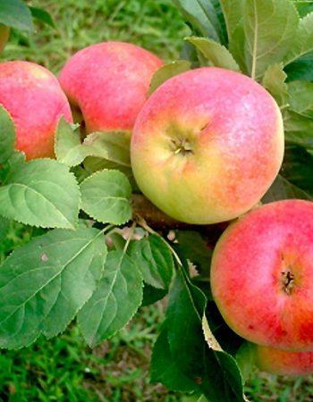 сорт яблони коробовка