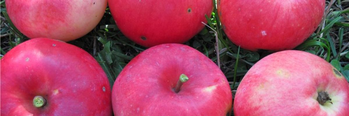 плоды яблони коробовка