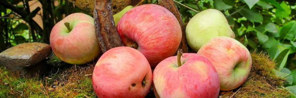 сорт яблони мельба описание