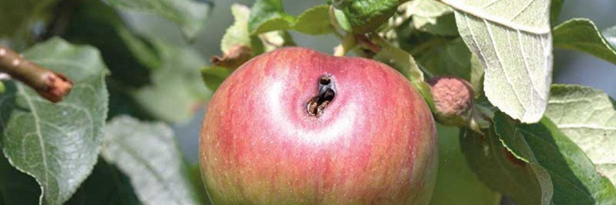 плодожорка яблонная описание и характеристика
